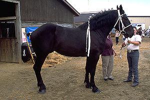 Perche - A Percheron draft horse