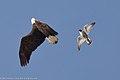 Peregrine Falcon (Falco peregrinus), defending its nest area, gives chase to a Bald Eagle (Haliaeetus leucocephalus)Bai007MarBEglPFa 3 of 3.jpg