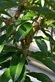 Pereskia grandifolia 13zz.jpg
