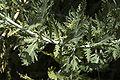 Perovskia atriplicifolia C.jpg