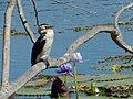 Phalacrocorax melanoleucos Mackay.jpg