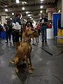 Pharoah hound (8109942415).jpg