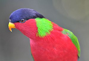 Lakeba - Collared lory (Phigys solitarius) from Lakeba