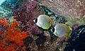 Philippine Butterflyfishes (Chaetodon adiergastos) (6133262558).jpg