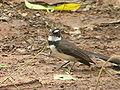 Philippinebird.jpg