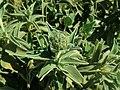 Phlomis fruticosa 2019-04-16 0973.jpg