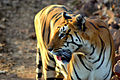 Photograph of a tigress clicked by Abhinandan.JPG