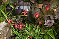 Phragmipedium Mem. Dick Clement - Internationale Orchideen- und Tillandsienschau Blumengärten Hirschstetten 2016 a.jpg