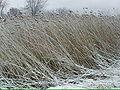 Phragmites snow ehm.jpg