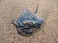 Physalia physalis Azores.jpg