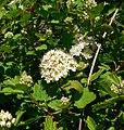 Physocarpus monogynus 1.jpg