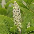 Phytolacca acinosa-IMG 4249.jpg