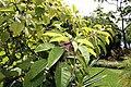 Phytolacca dioica 15zz.jpg