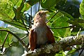 Piaya cayana (Cuco ardilla) - Flickr - Alejandro Bayer (1).jpg