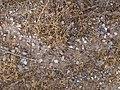 Picacho, AZ, Foraging Trail, Desert Harvester Ant, Messor pergandei, 2013 - panoramio.jpg