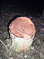 Picea abies mistreated with Glyphosate 1.jpg