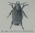 Picture Natural History - No 290 - The Dytiscus Marginalis.png