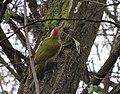 Picus viridis Łazienki Królewskie 02.jpg