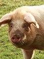 Pig (6880643020).jpg