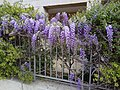 PikiWiki Israel 53766 chinese wisteria.jpg