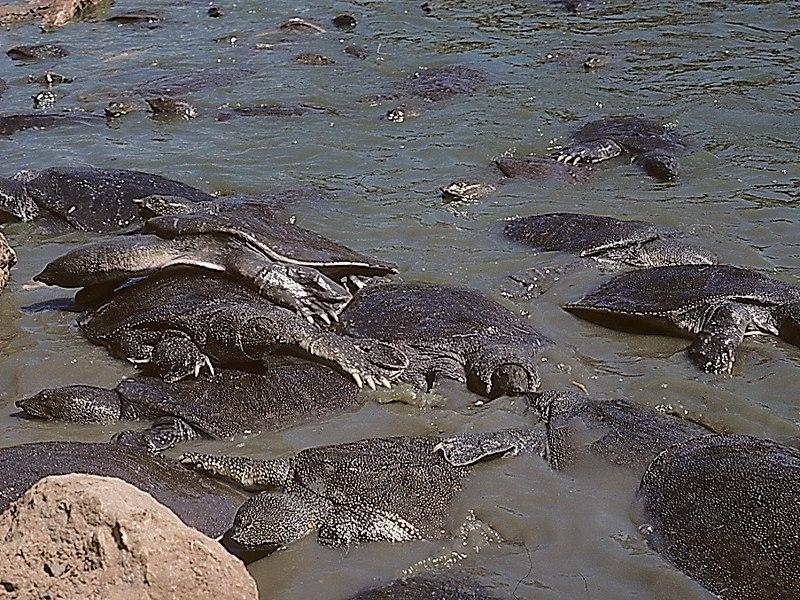 צבים רכים במים