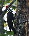 Pileated Woodpecker (4342538466).jpg