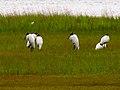 Pinckney Island National Wildlife Refuge (5958493336).jpg