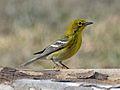 Pine Warbler male RWD2.jpg