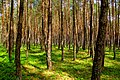 Pine forest - Flickr - Stiller Beobachter.jpg
