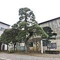 Pine of Shell Mark.jpg