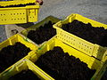 Pinot noir grapes from Long Island NY.jpg