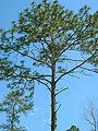 Pinus palustris Lowndes Co Georgia.jpg
