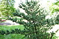 Pinus parviflora 'Bergman' - Morris Arboretum - DSC00436.JPG