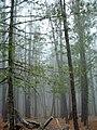 Pinus reflexa Mount Lemmon.jpg