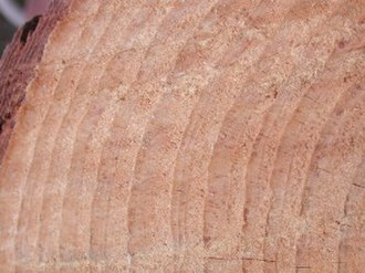 Dendrochronology - Pinus taeda Cross section showing annual rings, Cheraw, South Carolina.