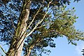 Pinwydden Abersoch Pine - geograph.org.uk - 559285.jpg