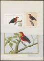 Pipra aureola - 1700-1880 - Print - Iconographia Zoologica - Special Collections University of Amsterdam - UBA01 IZ16600189.tif