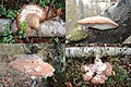 Piptoporus betulinus (Birch Polypore or Razorstrop Fungus or Birch Bracket, D= Birchenporling, F= Polypore du bouleau, NL= Berkenzwam), white spores, causes brownrot, in several appearences, sometimes hughe - panoramio.jpg