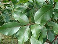 Pistacia terebinthus.001 - Monfrague.jpg