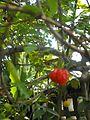 Pitanga Cherries.jpg