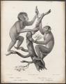 Pithecus satyrus - 1700-1880 - Print - Iconographia Zoologica - Special Collections University of Amsterdam - UBA01 IZ19800165.tif