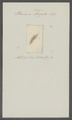 Planaria lingua - - Print - Iconographia Zoologica - Special Collections University of Amsterdam - UBAINV0274 105 09 0012.tif