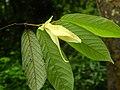 Plant Friesodielsia DSCN8652 02.jpg