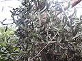 Plant kalli.JPG