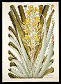Plantarum rariorum horti caesarei Schoenbrunnensis descriptiones et icones (T. 55) BHL271904.jpg