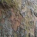 Platane, sycamore tree - panoramio (4).jpg