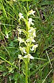 Platanthera bifolia. Paxarinos de prau.jpg