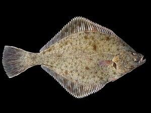 Platichthys flesus 1.jpg