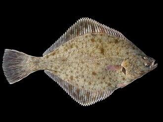 European flounder - Image: Platichthys flesus 1