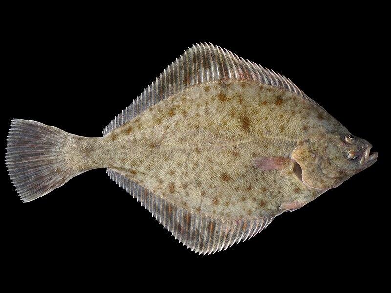Bild:Platichthys flesus 1.jpg